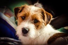Mentira wirehaired del perro del enchufe del terrier criado en línea pura joven de Russell en el sofá foto de archivo libre de regalías