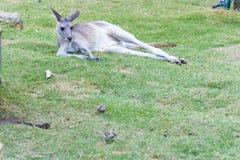 Mentiras de descanso do canguru do canguru cinzento selvagem em férias fotografia de stock royalty free