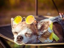 Mentiras de las gafas de sol de la chihuahua que llevan y del sombrero de paja en una hamaca cerca de una playa que goza del sol  foto de archivo libre de regalías