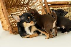 Mentiras del perrito de la chihuahua de la mamá Imágenes de archivo libres de regalías