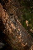 Mentiras do leopardo na árvore que olha para baixo abaixo fotografia de stock royalty free