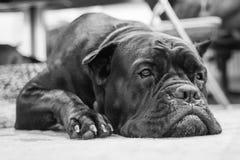 Mentiras grandes de um cão da raça Imagens de Stock