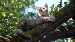 Mentiras importantes del gato joven escocés en una rama de árbol almacen de video