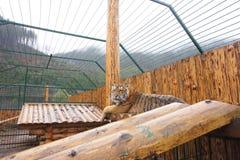 Mentiras jovenes hermosas adultas del tigre fotos de archivo
