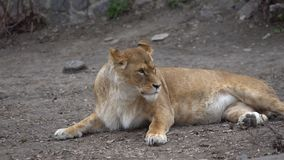Mentiras jovenes hermosas de la pantera de la leona que descansan sobre la tierra en el parque zoológico metrajes