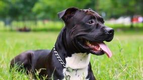 Mentiras pretas do terrier de Staffordshire americano em um close-up do campo O c?o est? olhando Pitbull novo branco e cor preta  video estoque