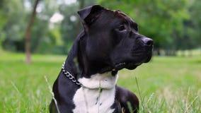 Mentiras pretas do terrier de Staffordshire americano em um close-up do campo O c?o est? olhando Pitbull novo branco e cor preta  filme