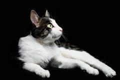 Mentiras soñadoras del gato Imagen de archivo libre de regalías