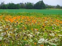 Meny ljus pumpa som växer i en bondes trädgård Natur arkivfoton