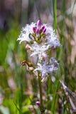 Menyanthes Trifoliata, έλος-φασόλι, Buckbean Στοκ φωτογραφία με δικαίωμα ελεύθερης χρήσης