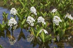 Menyanthes trifoliata or buckbean flowers royalty free stock image