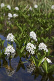 Menyanthes trifoliata or buckbean flowers Stock Photos
