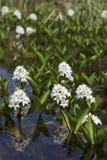 Menyanthes trifoliata or buckbean flowers Stock Photos