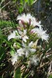Menyanthes Trifoliata o trébol imagen de archivo