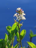 Menyanthes trifoliata. Plant against water Royalty Free Stock Images