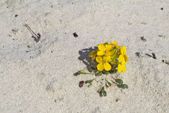 Menzie`s wallflower in sand at Asilomar Dunes Natural Preserve. Menzie`s wallflower Erysimum menziesii, one of the rarest plants in the world, grows in pure sand royalty free stock images