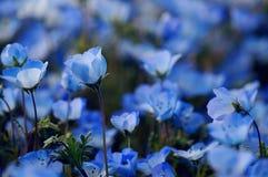Menziesii Nemophila - голубые глазы младенца Стоковые Фотографии RF