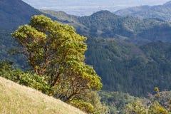 Menziesii van Arbutus van de Madroneboom op de heuvels van Sonoma-Provincie, Sugarloaf Ridge State Park, Californië stock foto's