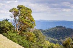 Menziesii van Arbutus van de Madroneboom op de heuvels van Sonoma-Provincie, Sugarloaf Ridge State Park, Californië royalty-vrije stock foto's