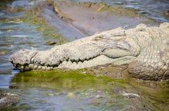 Menzogne capa del coccodrillo nel fango Immagini Stock