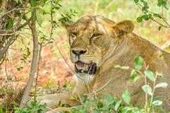 Menzogne capa della leonessa sotto un albero Fotografia Stock Libera da Diritti