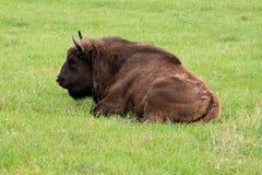 Menzogne del bisonte Fotografia Stock