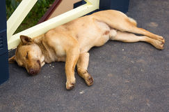Menzogne del cane Fotografia Stock
