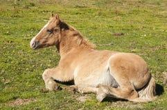 Menzogne del cavallo Fotografie Stock