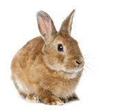 Menzogne del coniglio Immagini Stock