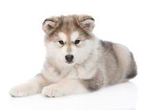 Menzogne del cucciolo del malamute d'Alasca Isolato su priorità bassa bianca immagini stock