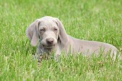 Menzogne del cucciolo di Weimaraner Vorsterhund fotografia stock libera da diritti