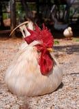 Menzogne del gallo Fotografia Stock Libera da Diritti