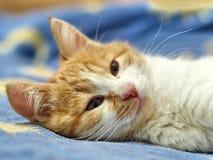 Menzogne del gattino dello zenzero Ritratto Fotografia Stock