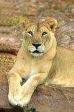 Menzogne del Lioness immagine stock libera da diritti