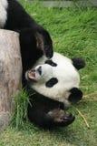 Menzogne dell'orso di panda gigante Fotografia Stock