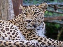 Menzogne di camminata del maschio del leopardo nella gabbia Immagini Stock