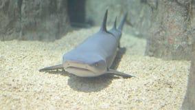 Menzogne di riposo dello squalo grigio della scogliera sul fondo sabbioso stock footage