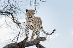 Menzogne distesa leopardo in un albero Immagine Stock Libera da Diritti