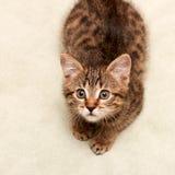 Menzogne e sguardi del gatto di Tabby Immagine Stock Libera da Diritti