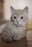 Menzogne gialla del gatto Immagini Stock