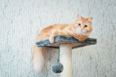 Menzogne lanuginosa del gatto dello zenzero Fotografie Stock Libere da Diritti
