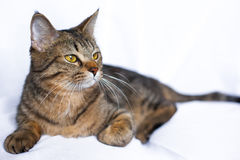 Menzogne pigra del gatto di soriano Fotografie Stock