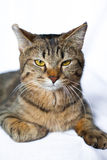 Menzogne pigra del gatto di soriano Immagine Stock