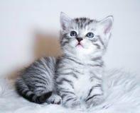 Menzogne a strisce del gattino Immagini Stock
