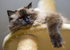 Menzogne sveglia del gatto di famiglia Immagini Stock Libere da Diritti