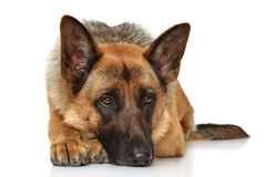Menzogne tedesca del cane da pastore Fotografia Stock Libera da Diritti