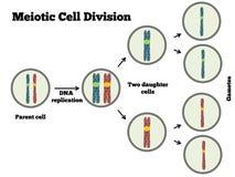 Meotic细胞分裂 向量例证