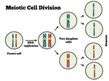 Meotic Cell Division. The different steps of meiosis explained in a clear manner Royalty Free Stock Image