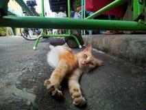 meow Immagini Stock