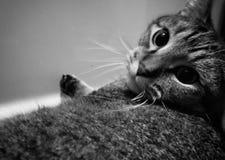 meow stock afbeelding